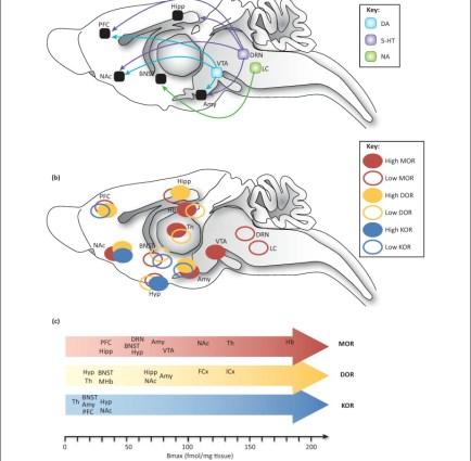 Opioid receptors in CNS