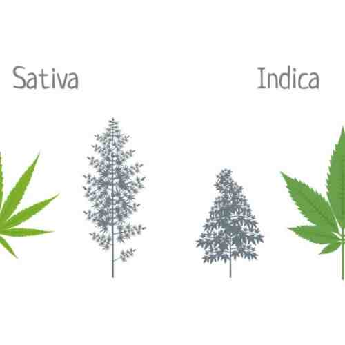 indica vs. sativa