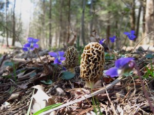 Morels and Violets