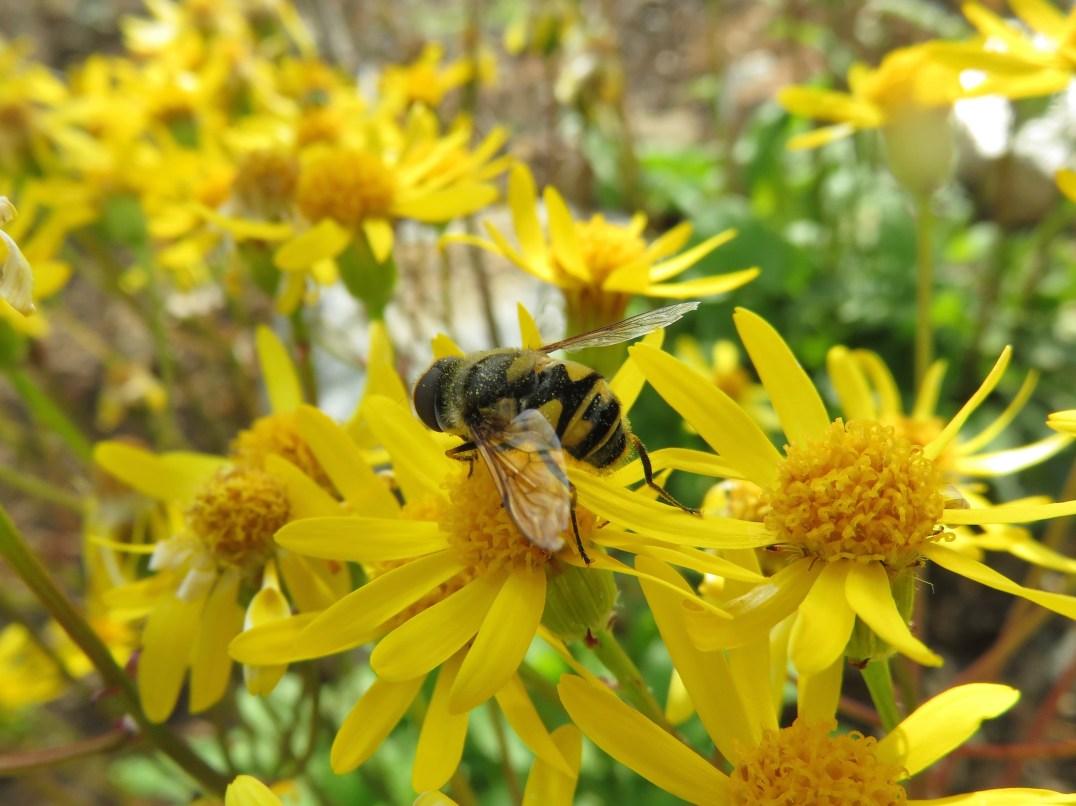 bee mimic fly on gold ragwort