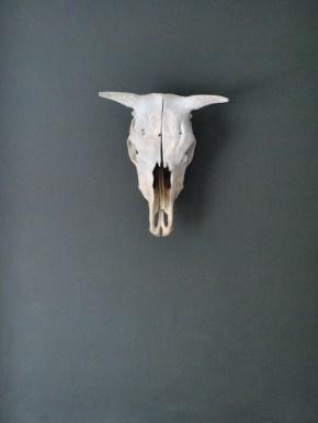 cow-skull
