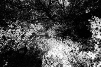 CherryBlossoms.1972.DaidoMoriyama