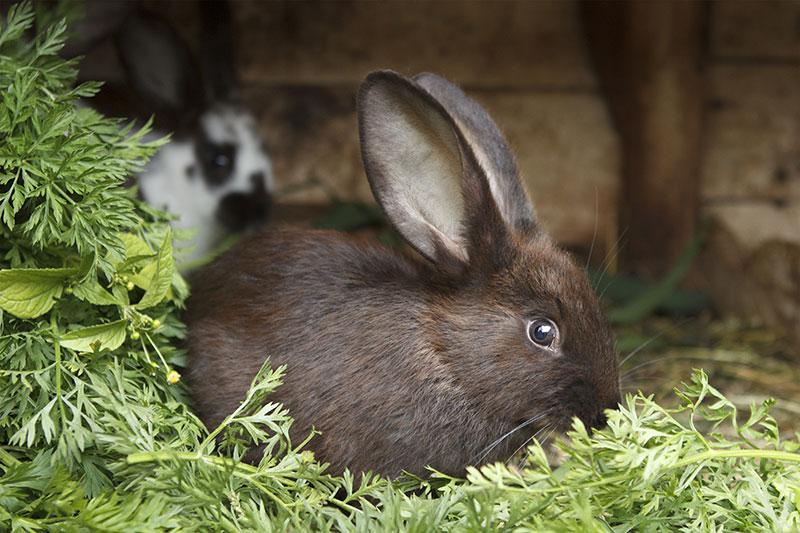Un lapin dans son fourrage
