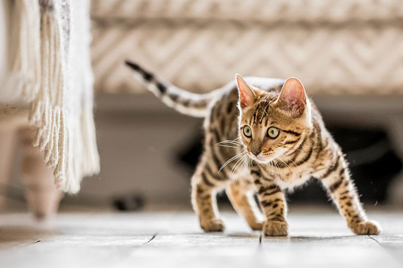 quel age un chat devient adulte