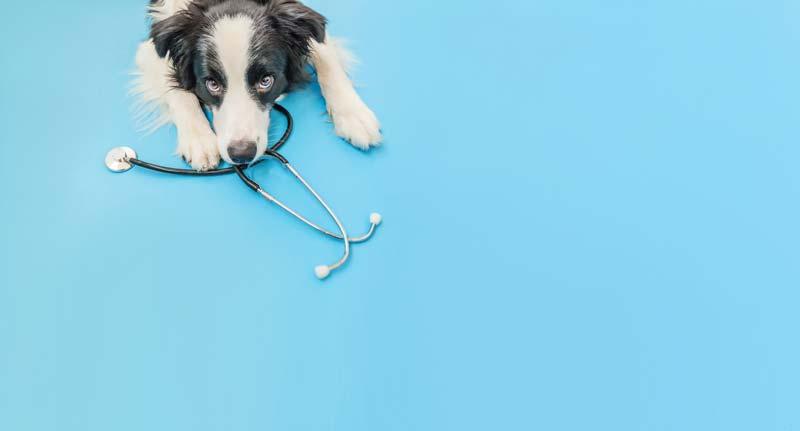 Dermatophytose chien