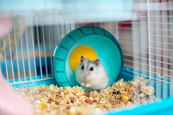 Un hamster mange une alimentation plutôt équilibrée à base de nutriments végétale et animale.
