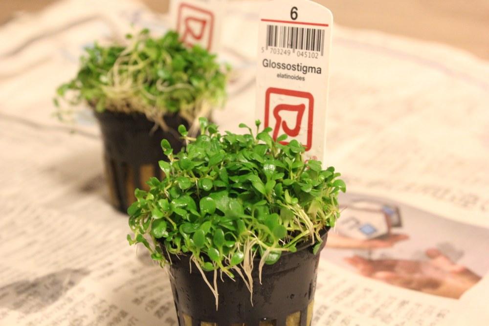 憧れの緑の絨毯を自分の水槽に!レイアウトによく使われる代表的な前景草と特徴。