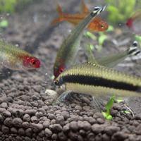 コリドラス以外の熱帯魚