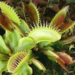 Carnivorous Giant Venus Flytrap Seeds