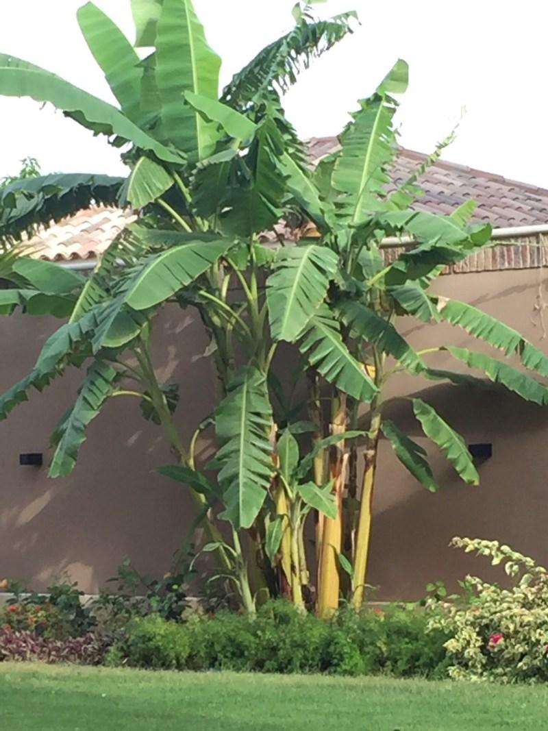 QUE.com - Banana
