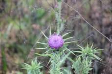 Thistle Flower