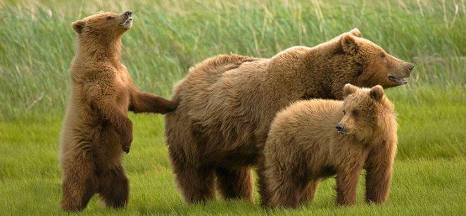 Resultado de imagen para osos pardos