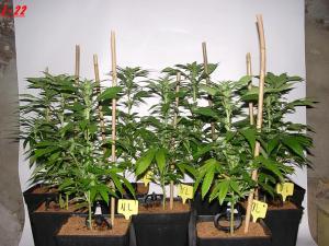 Floraison Jack Widow Queen Seeds