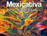 graine de cannabis - mexicativa
