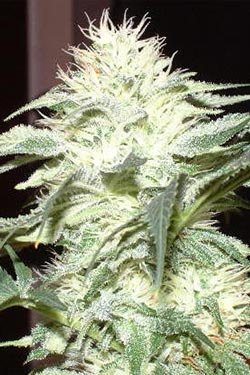 White Widow de Queen Seeds