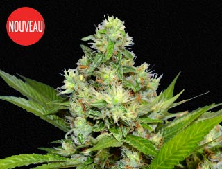 Graine de cannabis - Queen Warrior