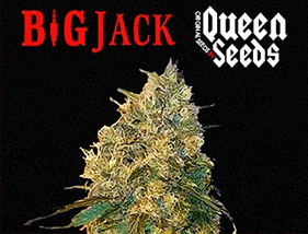 Big Jack Queen Seeds