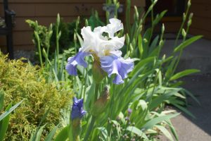 Blue-and-White Iris - May 2016 - 2