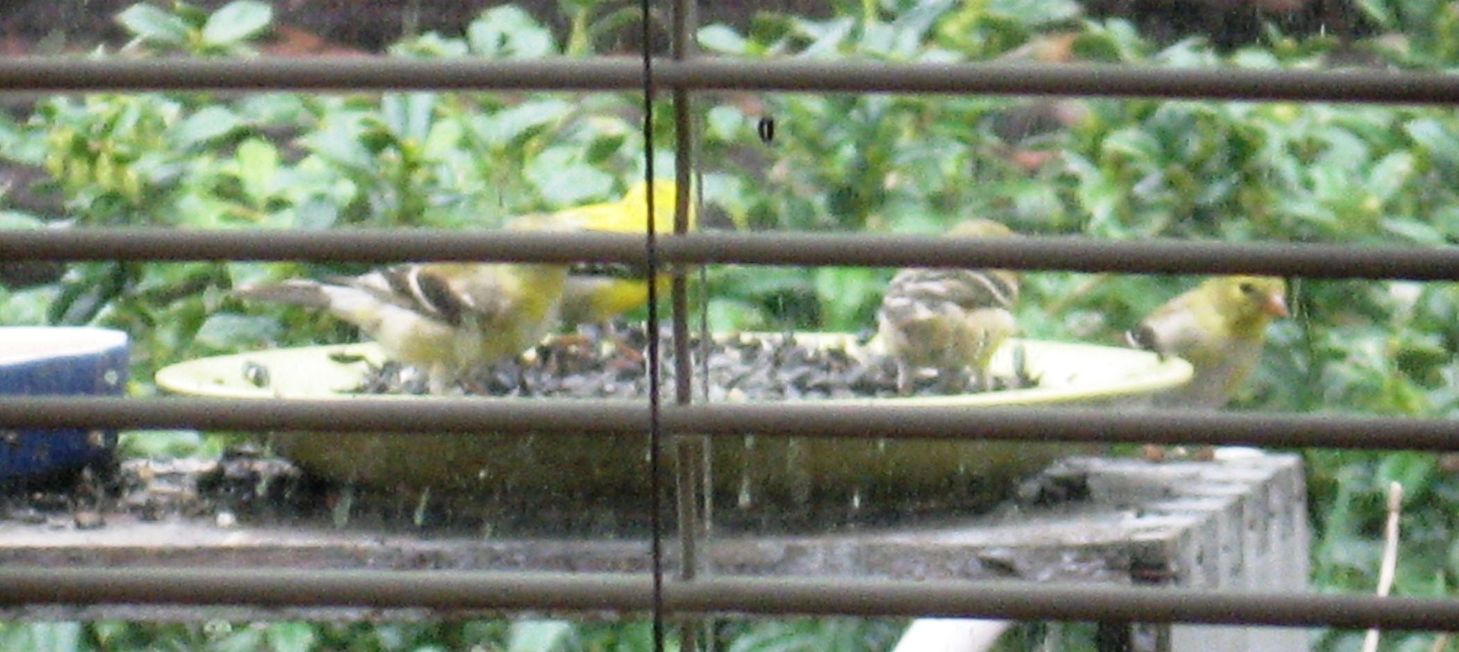 Goldfinches at dish feeder