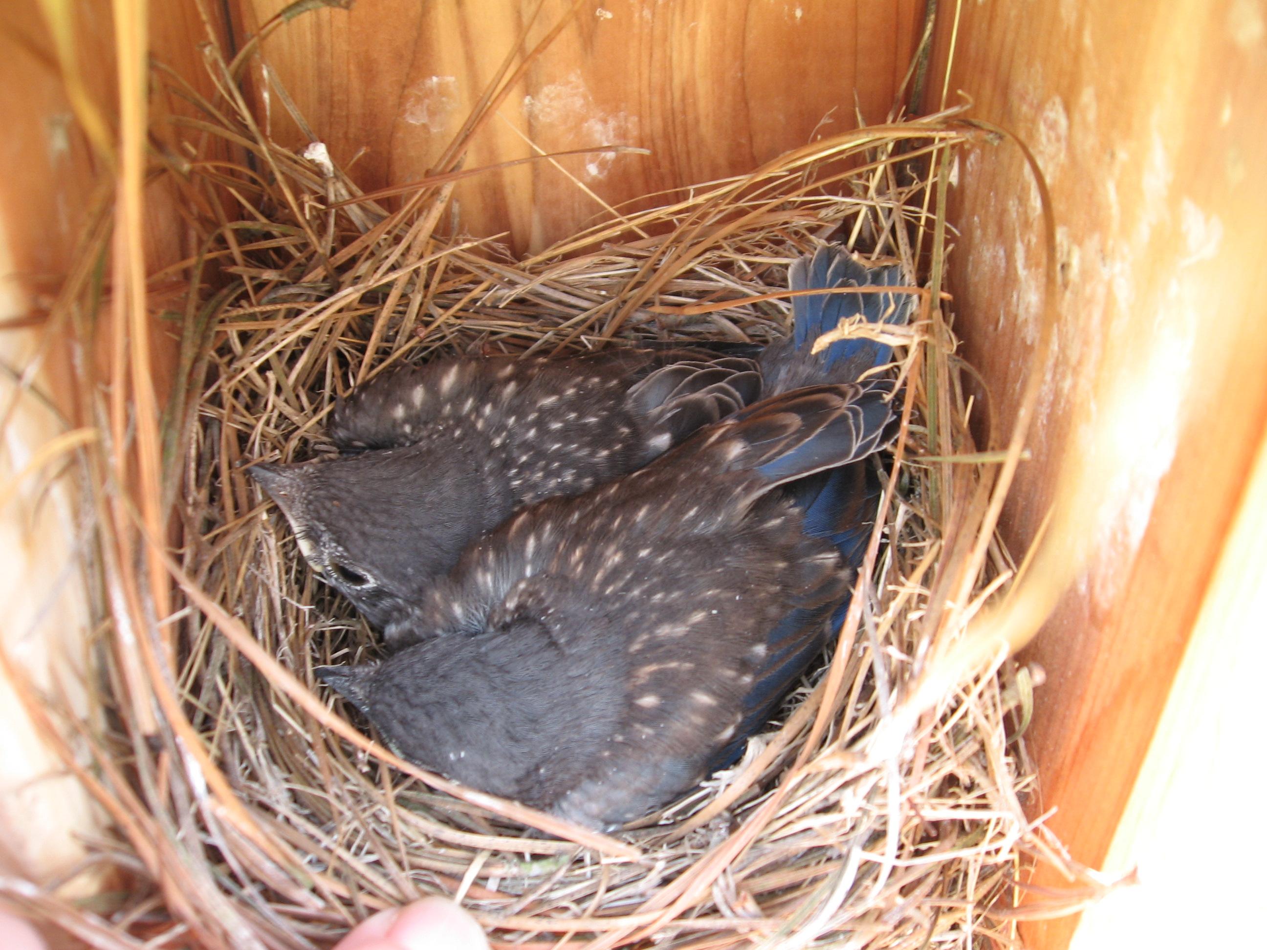 Last peek before fledging