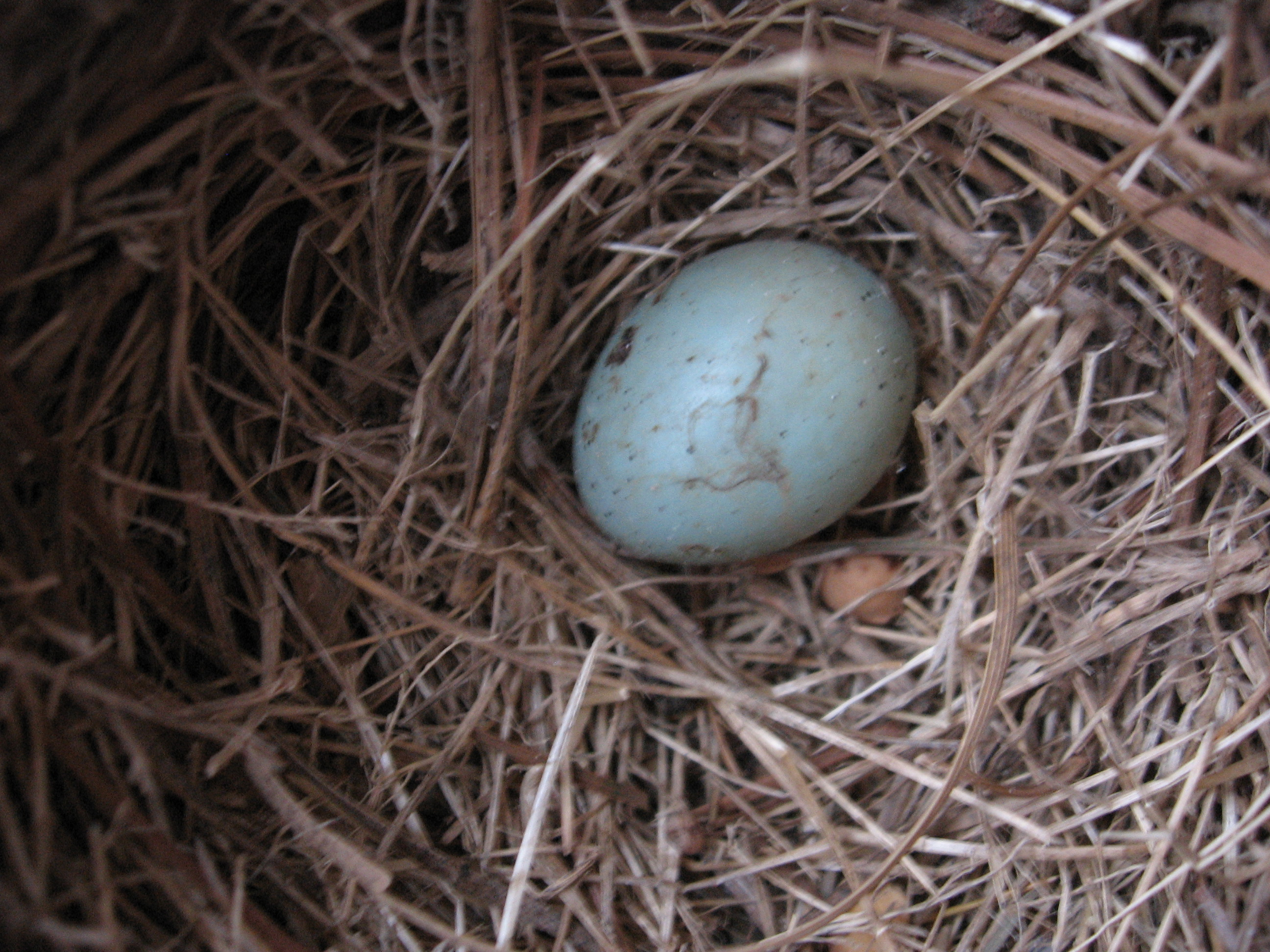 This egg didn\'t hatch. Notice the tiny pink blob beside the egg.