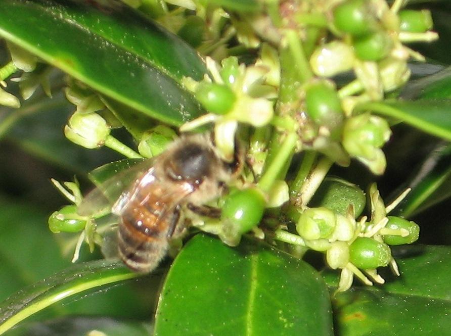 Honeybee on Holly