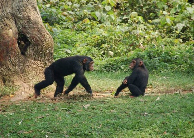 Two young chimpanzees