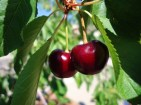 Cherry-Tree-4e0fbdd8ac475_hires
