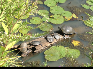 Family of Turtles