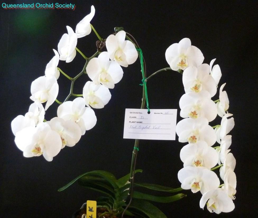 [Champion Phalaenopsis or Doritaenopsis Hybrid] Phal. Crystal Veil