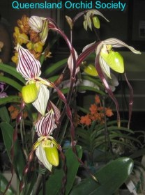 Paph. philippinense 'Ann' by Barry & Anne Kable