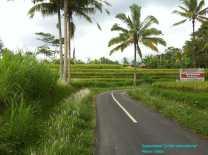 Rice Growing (2)