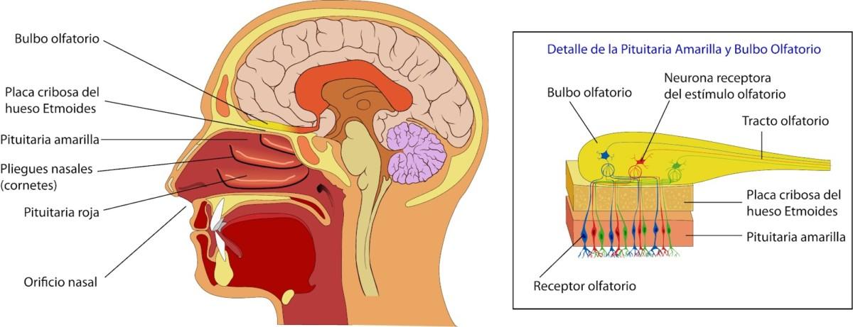 El sentido humano del olfato: más poderoso de lo que pensamos – ¡QFC!