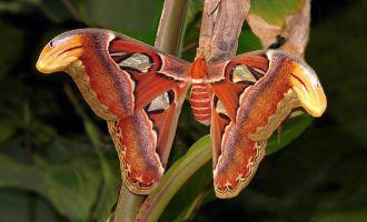 Vigo tiene una mariposa gigante