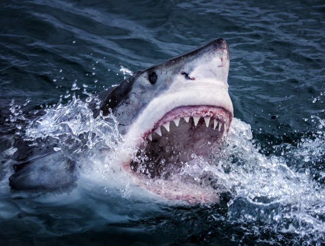 PICTURE SHOWS:  Great White Sharks in South Africa feed on fish and  fur seals and have evolved extraordinary senses to find their prey.