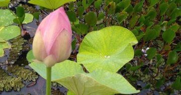 Flor de loto en la fundación sales [rectificamos]