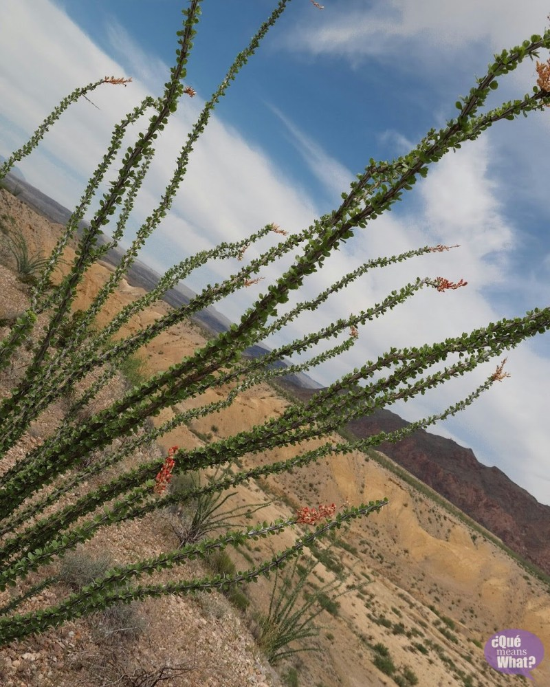 Ocotillo in Big Bend National Park - Que Means What