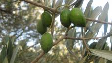 olives_on_a_branch4