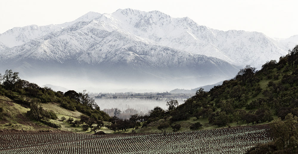 Chilean Sauvignon Blanc vineyard