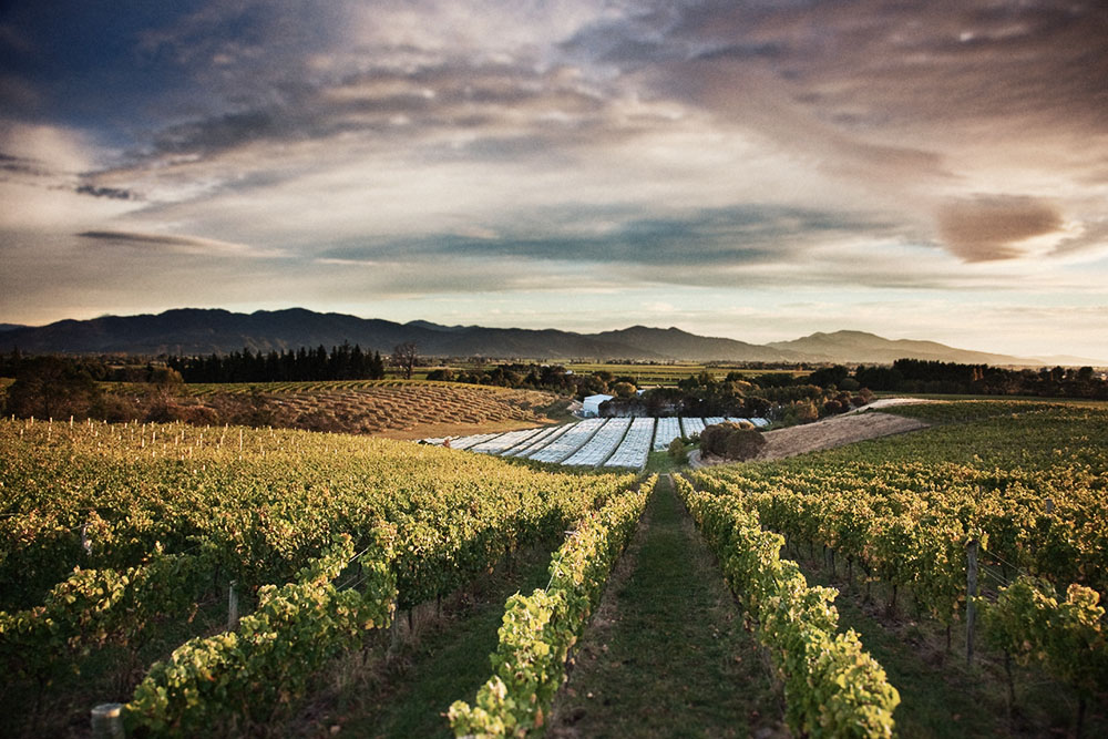 Dog Point Vineyards' east ridge vineyard and winery.
