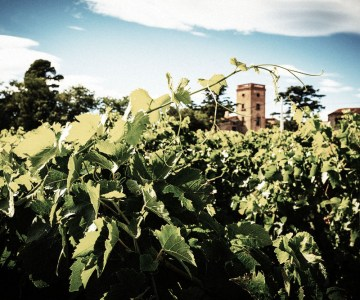 Maison LaFage vineyard produces great French Grenache
