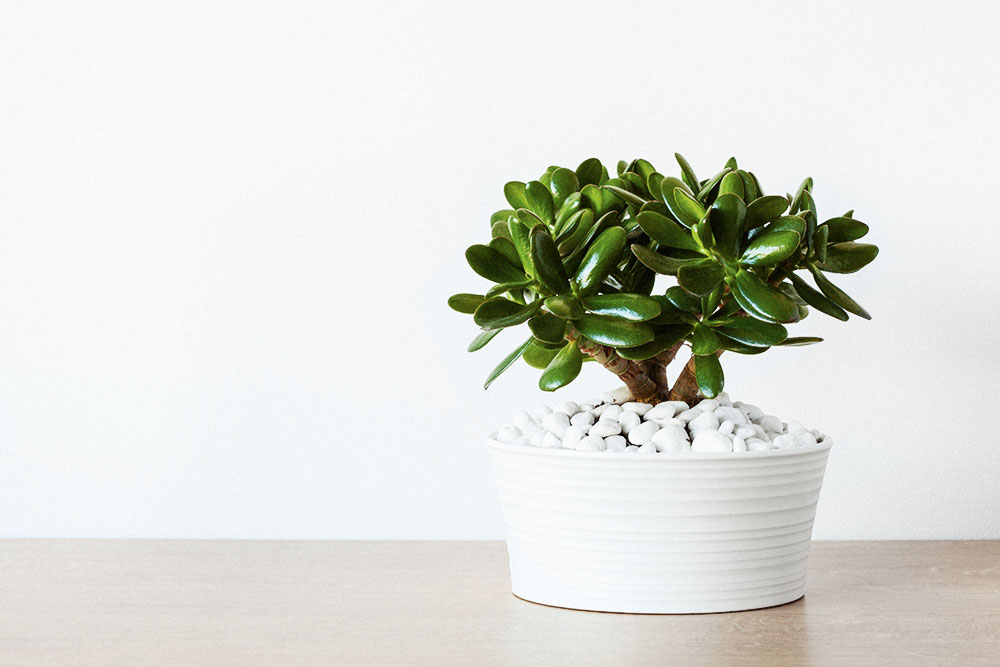 Houseplants - jade plant