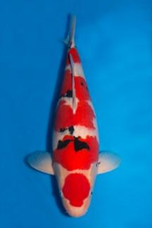 Hiroi Sanke 57cm
