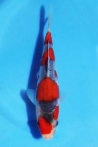 Kondo Goshiki 17cm