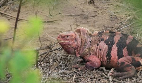 iguanas rosadas