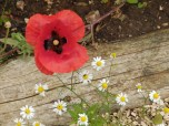 Poppy and chamomile