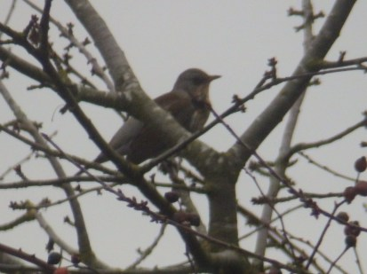 Fieldfare in tree