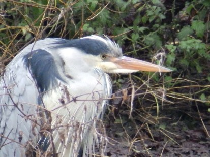 The Heron is back again. Arnot Hill Park
