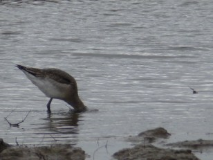 Black-tailed Godwit feeding enthusiastically