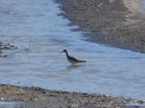 Redshank at Sheepwash